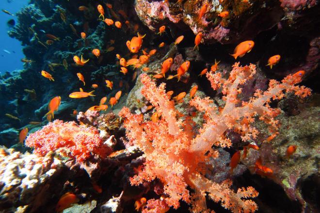 Природный коралл
