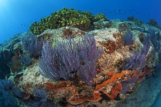 Голубой коралл — АКОРИ