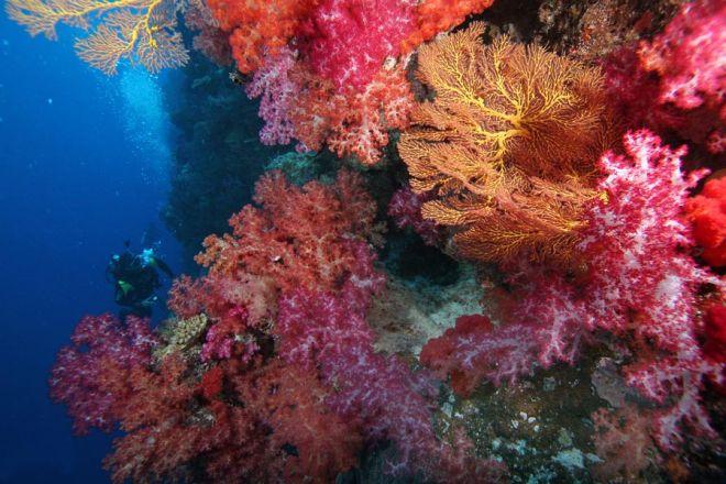 Мадрепоровый коралл